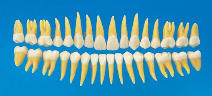Количество зубов у взрослого человека