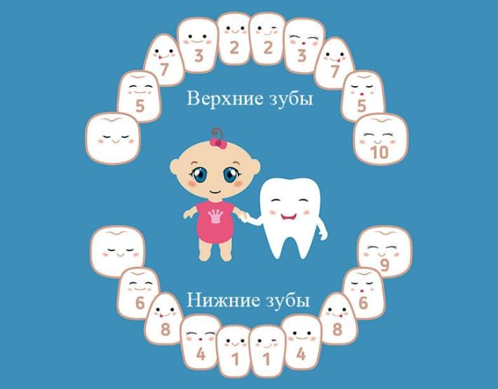 сегменты челюсти молочных зубов