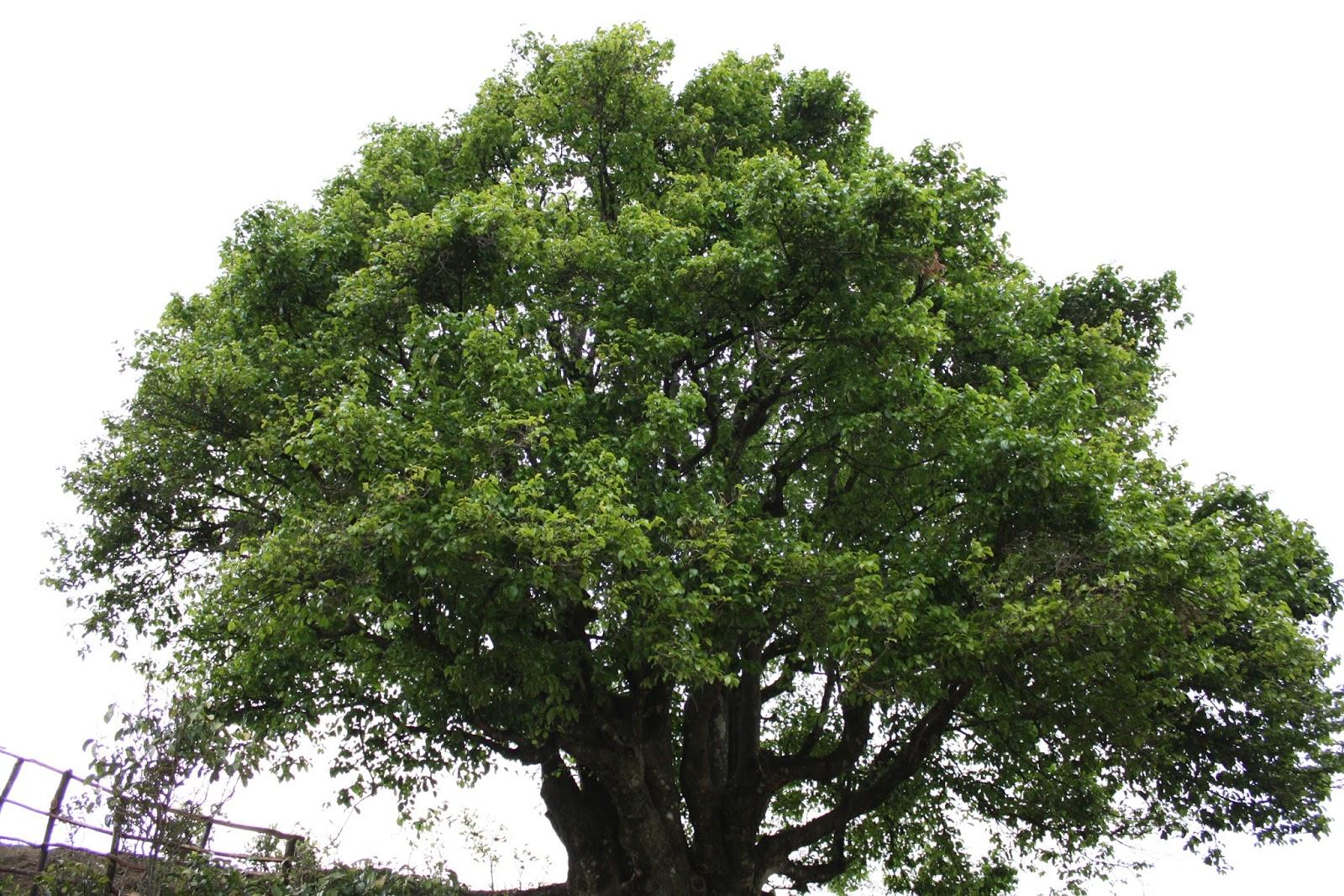 Масло чайного дерева, или как его еще называют Melaleuca, добывается из листьев австралийского растения Melaleuca Alternifolia.