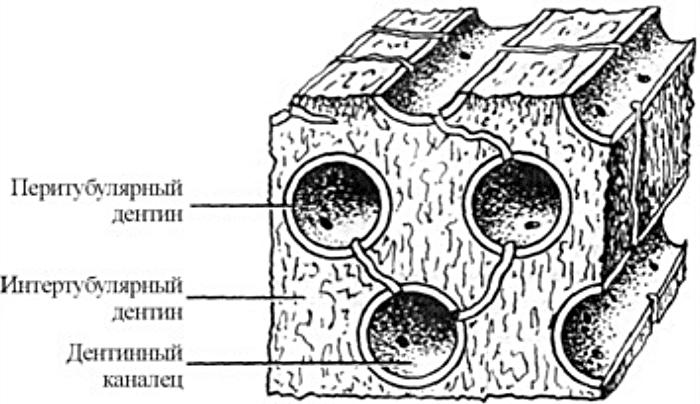 Строение ткани дентина