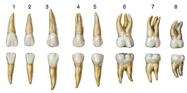 Количество корней зуба