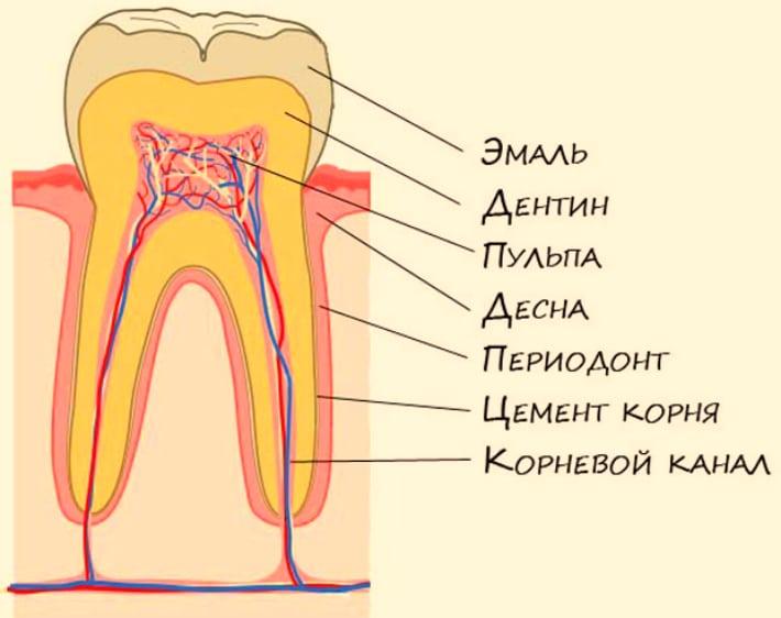 Составные части зуба