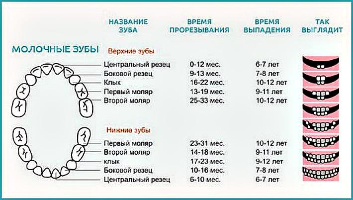 Схема смены молочных зубов